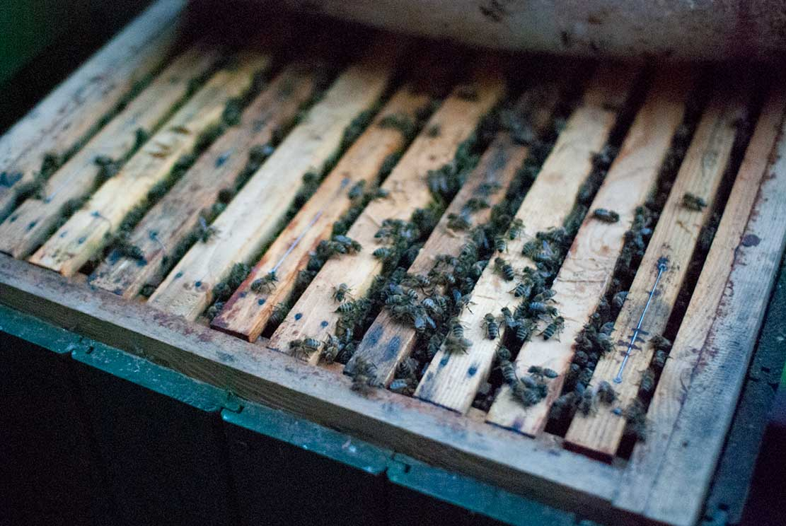top of a beehive exposed with wooden ribs and their gabs filled with crawling bees